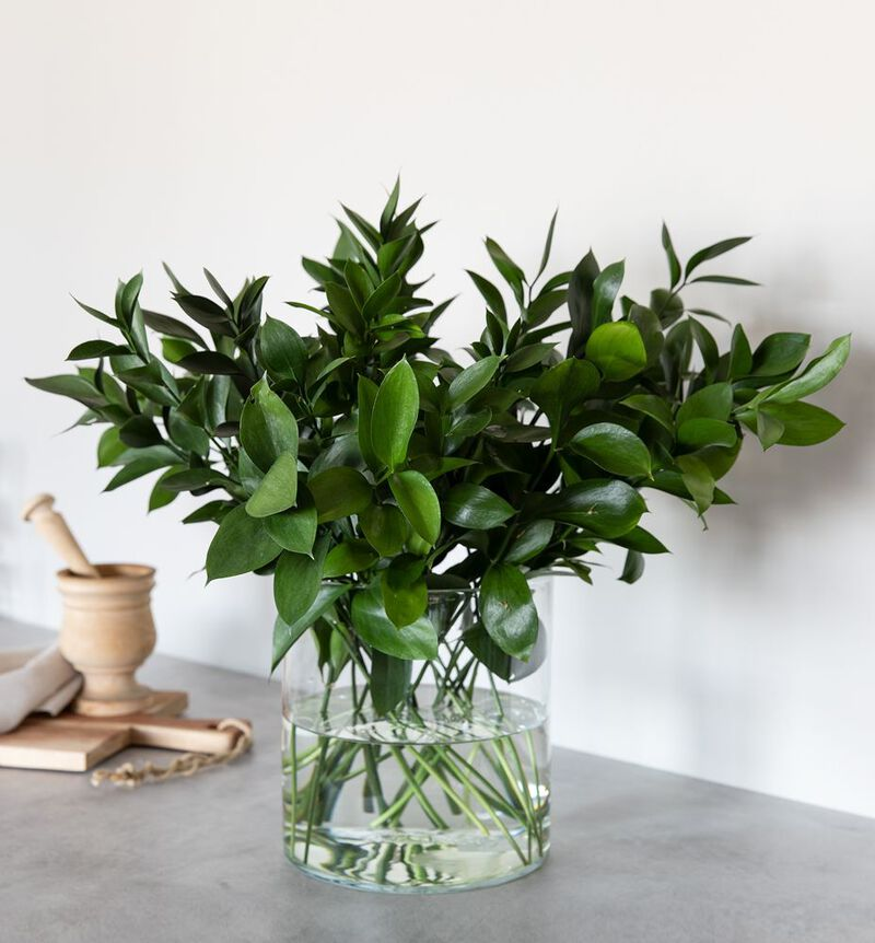 Ruscus  image number null