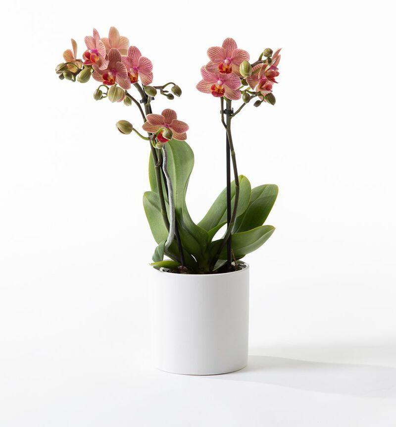 Gyllen midi orkidé i potte image number null