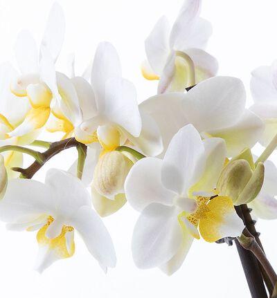 Hvit midi orkidé i blå Strå potte