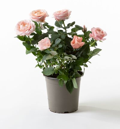 Rosa potterose