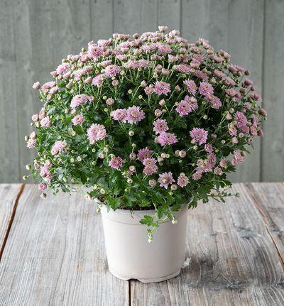 Frilandskrysantemum rosa