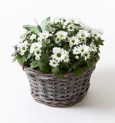 Hvit krysanthemum i kurv