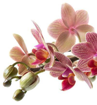 Gyllen midi orkidé i Tidløs potte