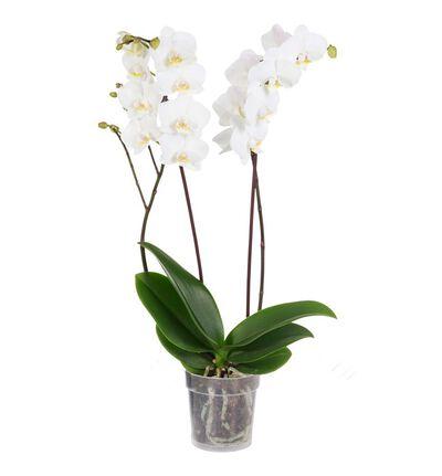 Hvit orkidé to-grenet
