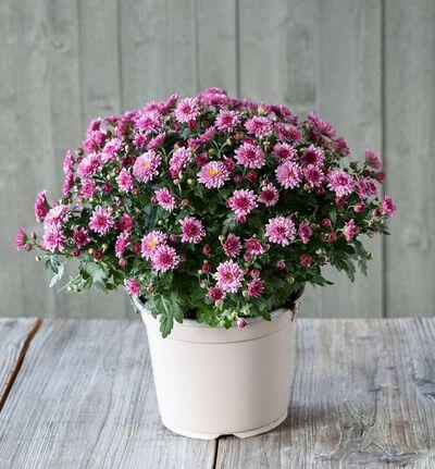 Frilandskrysantemum lilla