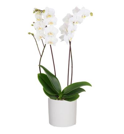 Hvit orkidé i hvit potte