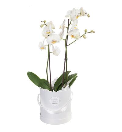 Hvit orkidé i gaveeske