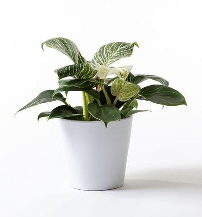 Philodendron White Measure i hvit potte
