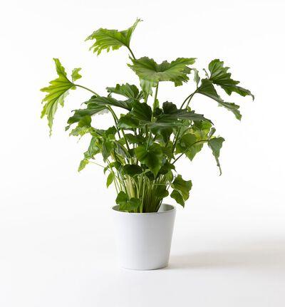 Philodendron i hvit potte