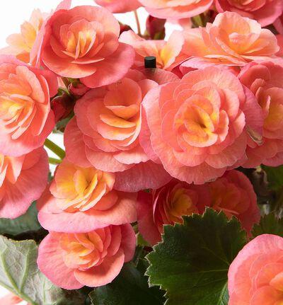 Rosa Begonia