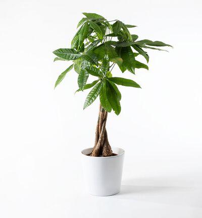 Pachira med flettet stamme i hvit potte