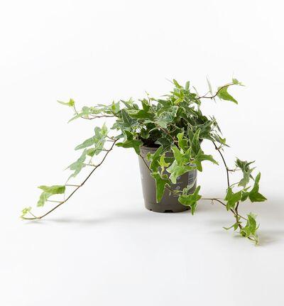 Eføy grønn