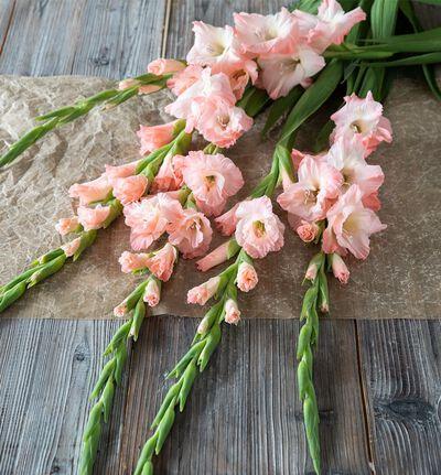5 stk rosa gladioler
