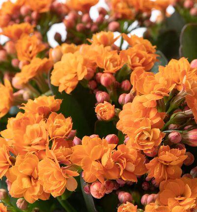 Oransje ildtopp Calandiva