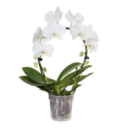 Hvit orkidé på bøyle