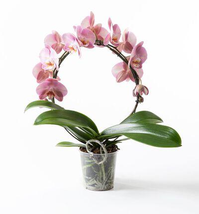 Rosa orkidè på bøyle