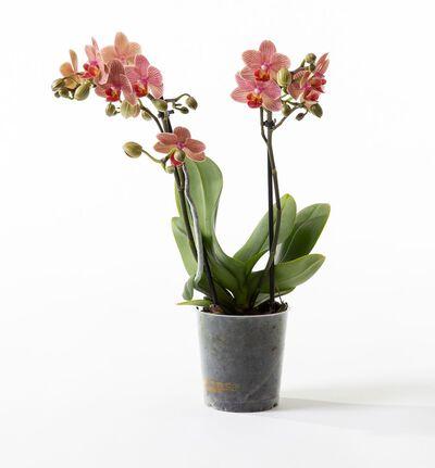 Gyllen midi orkidé