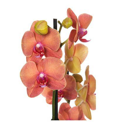 Gyllen orkidé to-grenet