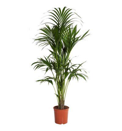 Kentia palme L