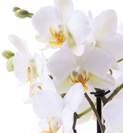 Hvit orkidé Bouquetto