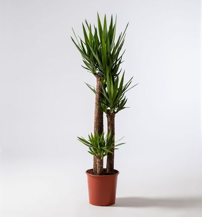 Yuccapalme XL