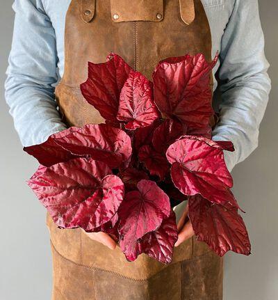 Begonia rex Inca Flame