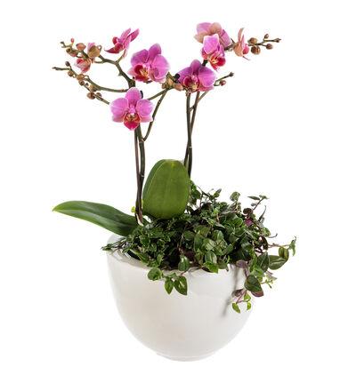 Lilla orkidè sammenplanting S