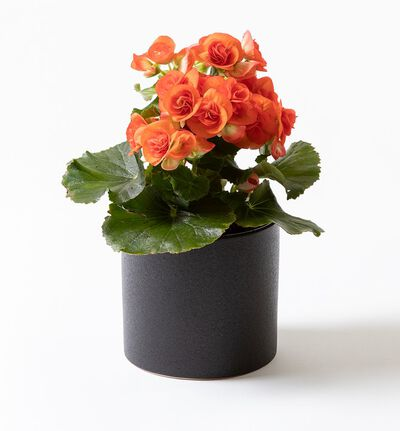 Oransje begonia i sort potte