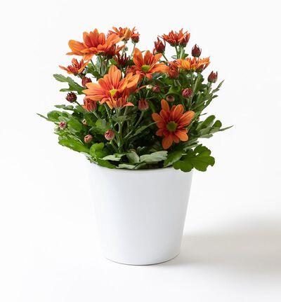 Oransje krysantemum i hvit potte