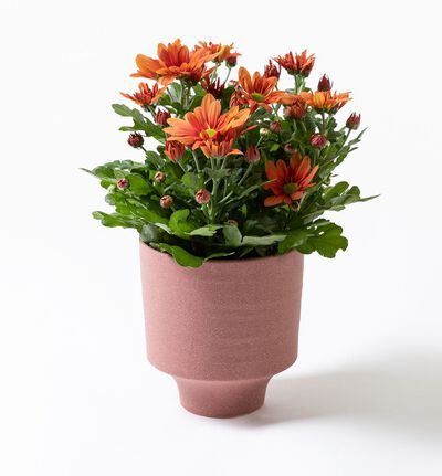 Oransje krysantemum i strå potte