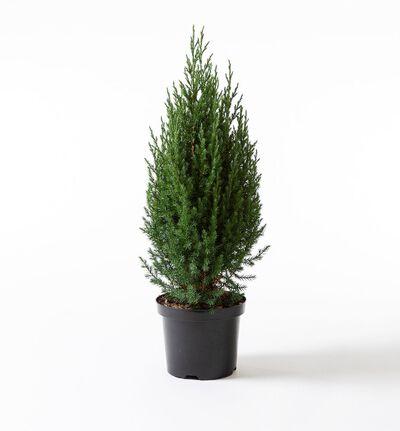 Einer busk