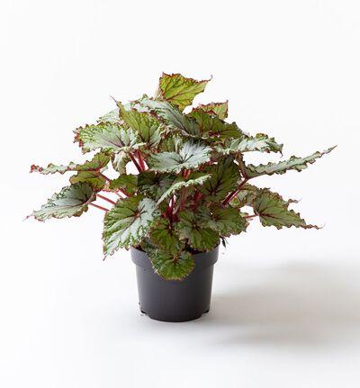 Begonia rex Asian Tundra