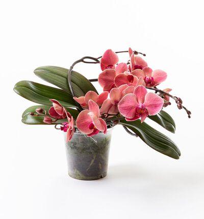 Gyllen orkidé på bøyle
