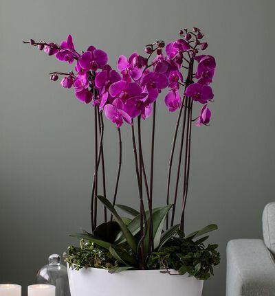 Lilla orkidé sammenplanting L