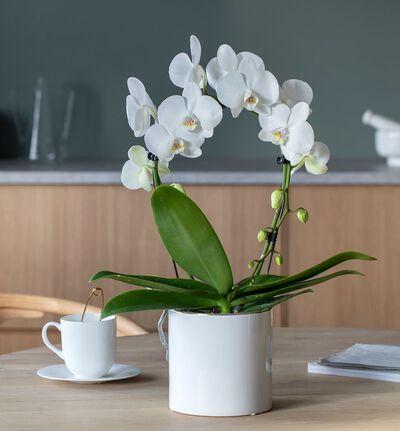 Hvit orkidé på bøyle i hvit potte