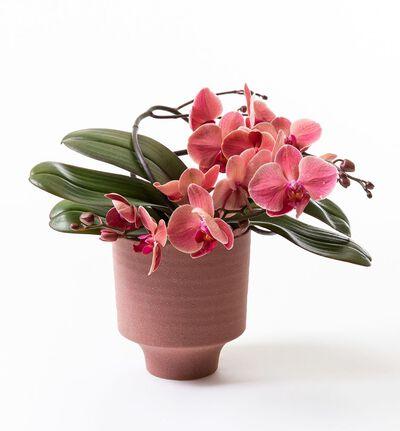 Gyllen orkidé i på bøyle i potte