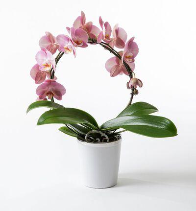 Rosa orkidé på bøyle i potte