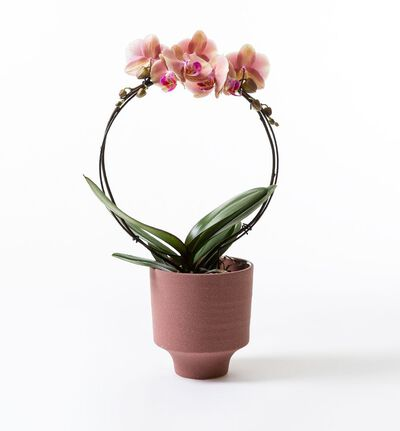 Gyllen orkidè i potte
