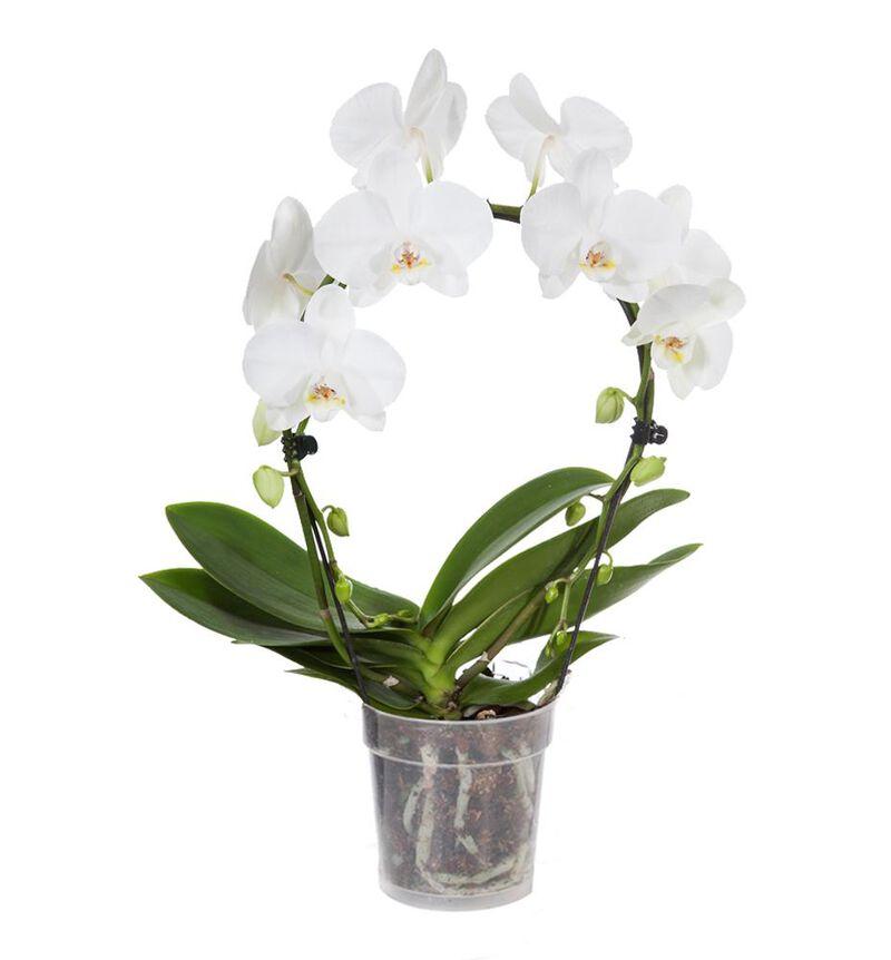 Hvit orkidé på bøyle bildenummer 1