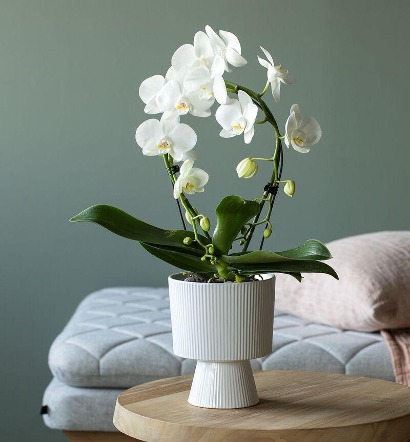 Hvit orkidé på bøyle bildenummer 2