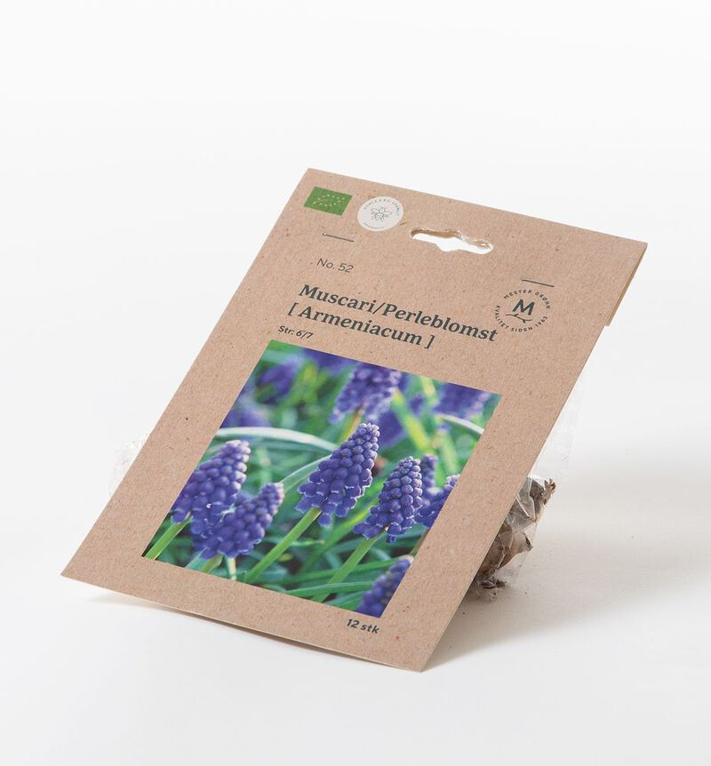 Muscari høstløk bildenummer 1