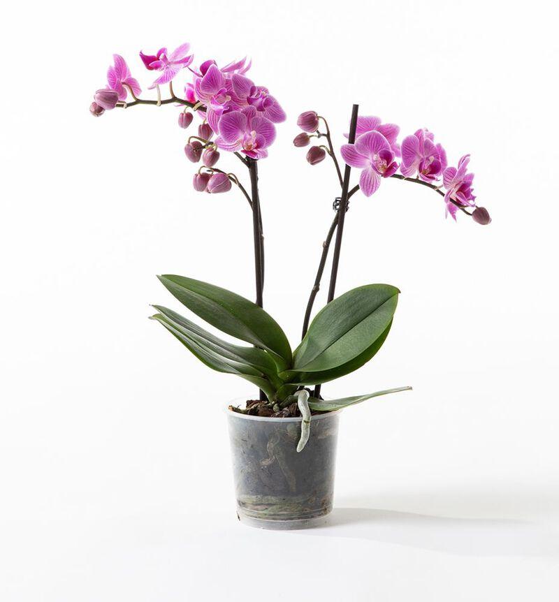 Lilla midi orkidé bildenummer 1