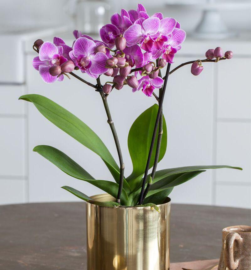 Lilla midi orkidé bildenummer 2