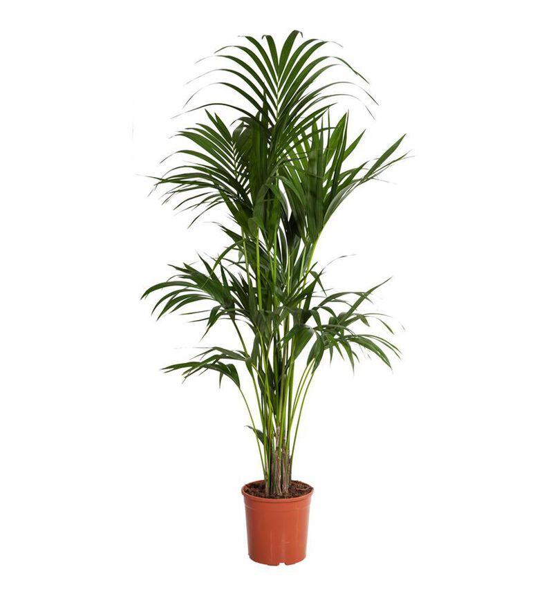 Kentia palme L bildenummer 1