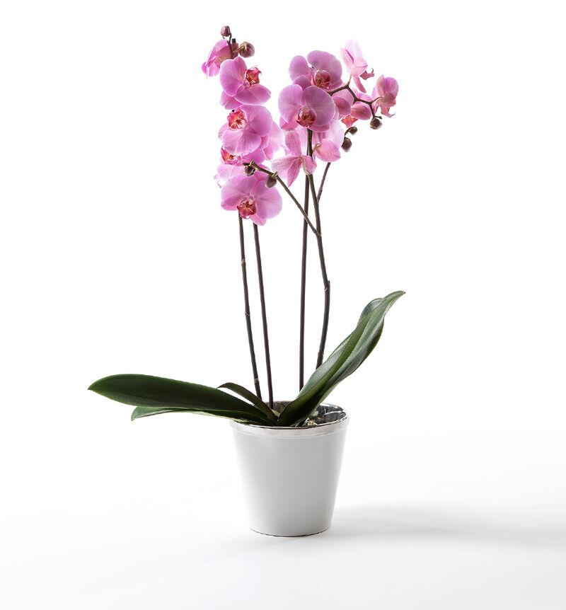 Rosa orkidé i hvit potte bildenummer 1