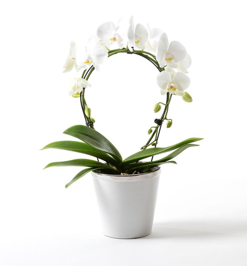 Hvit orkidé på bøyle i hvit potte bildenummer 1