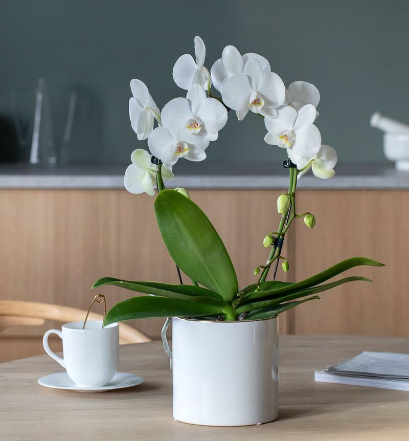 Hvit orkidé på bøyle i hvit potte bildenummer 2