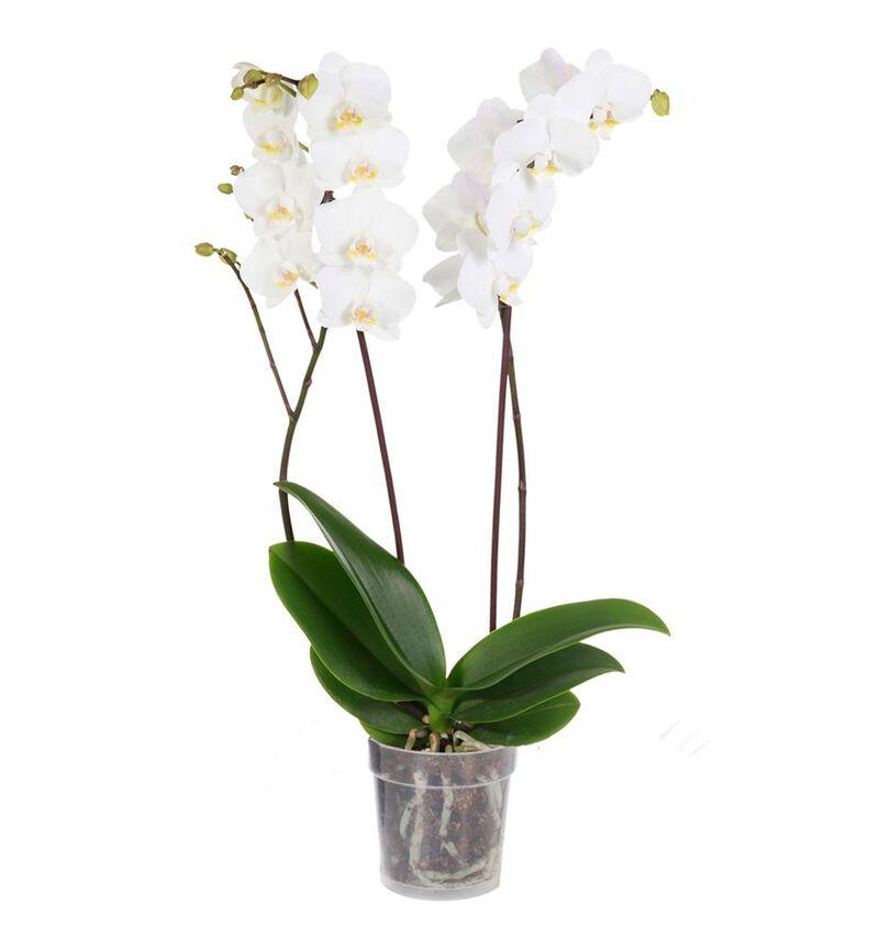 Hvit orkidé to-grenet bildenummer 1