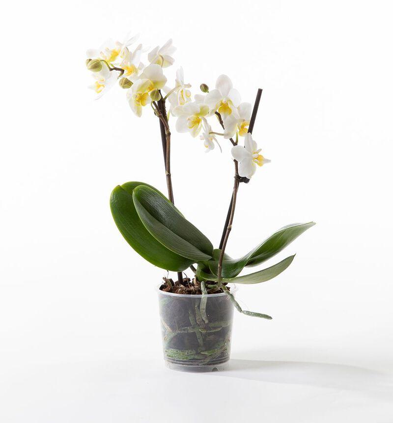 Hvit midi orkidé bildenummer 1