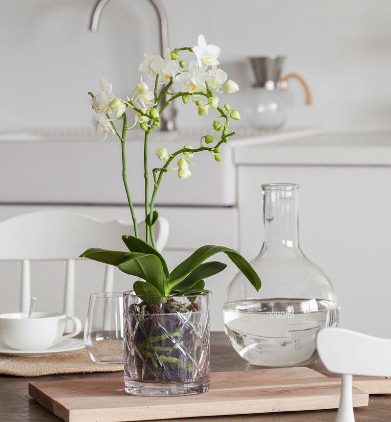 Hvit midi orkidé bildenummer 2